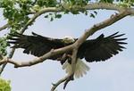 EagleHawkPhotoByKeithWedoe13