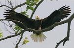 EagleHawkPhotoByKeithWedoe14