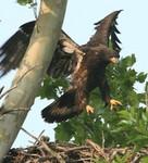 EagleHawkPhotoByKeithWedoe15