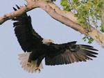 EagleHawkPhotoByKeithWedoe16