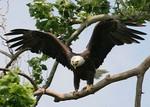 EagleHawkPhotoByKeithWedoe17