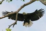 EagleHawkPhotoByKeithWedoe18