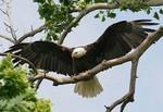 EagleHawkPhotoByKeithWedoe20