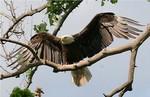 EagleHawkPhotoByKeithWedoe8