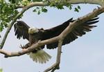 EagleHawkPhotoByKeithWedoe9
