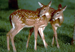 Highlight for Album: Keith Wedoe Deer Photos