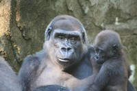 Highlight for Album: Paul Lauschke Lowland Gorilla Photo Gallery