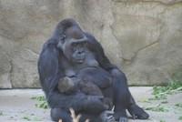 GorillaTroopByPLauschke11