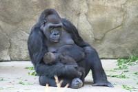 GorillaTroopByPLauschke12