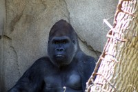 GorillaTroopByPLauschke13