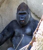 GorillaTroopByPLauschke14