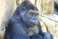 GorillaTroopByPLauschke15
