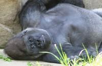 GorillaTroopByPLauschke16