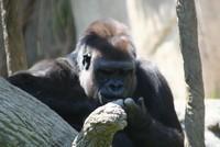 GorillaTroopByPLauschke19