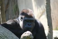 GorillaTroopByPLauschke20