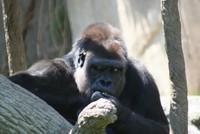 GorillaTroopByPLauschke21