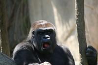 GorillaTroopByPLauschke22