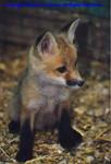 FoxPhotobyDonJohnson1