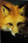 FoxPhotobyDonJohnson3